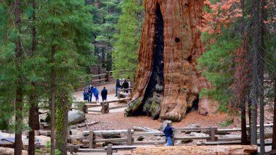 صورة حرائق الغابات في الولايات المتحدة الأمريكية تهدد أكبر شجرة في العالم
