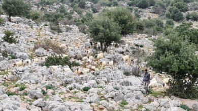 صورة لبنان يتسلّم الراعي الذي تم خطفه من قبل قوات الاحتلال